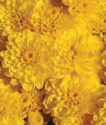 Gigi™ Yellow Image