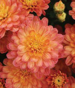 Jacqueline™ Orange Fusion Image