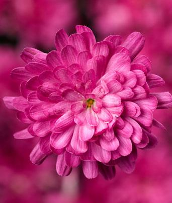 Jacqueline™ Pink Image