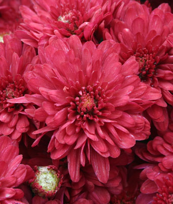 Wanda™ Red Image