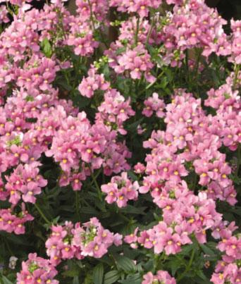 Aromatica™ Rose Pink Image