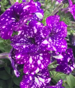 Petunia Headliner™ Series Image