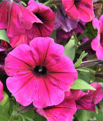 Petunia Potunia® Series Image