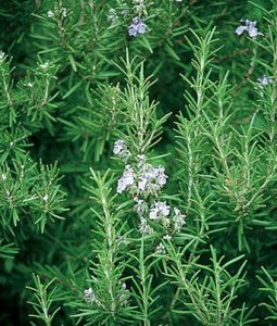 Rosemary Image