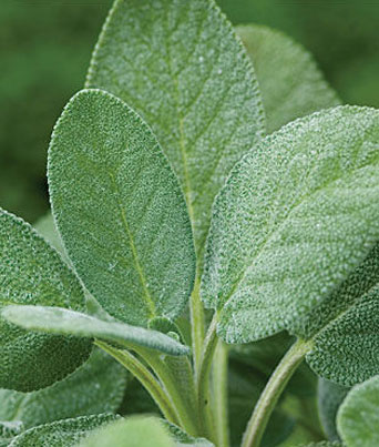 Common Sage Image