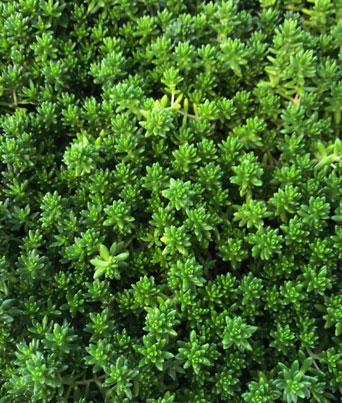"Sedum ""Green"" Image"