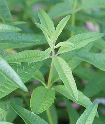 Lemon Verbena Image
