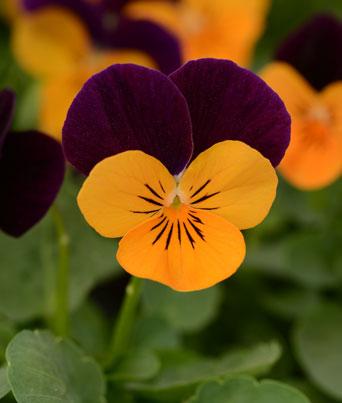 Sorbet® Orange Jump-Up Image
