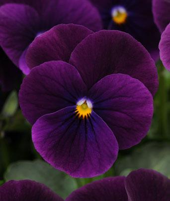 Sorbet® Purple Image