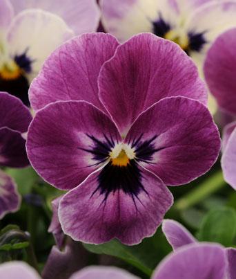 Sorbet® Raspberry Image