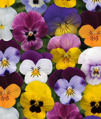 Sorbet® Spring Select Mix Image