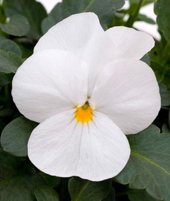 Sorbet® White Image