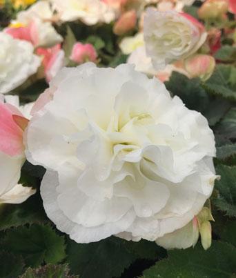 Begonia Nonstop® Series Image
