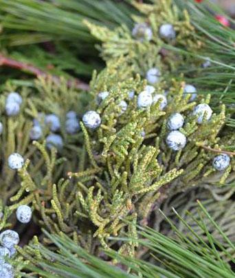 Blueberry Juniper Image