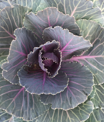 Color-Up Red Kale Image