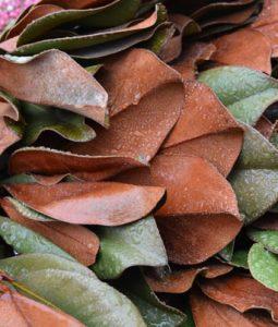 Magnolia Leaves Image