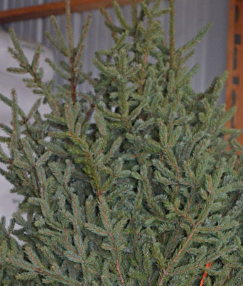 Spruce Tips Image