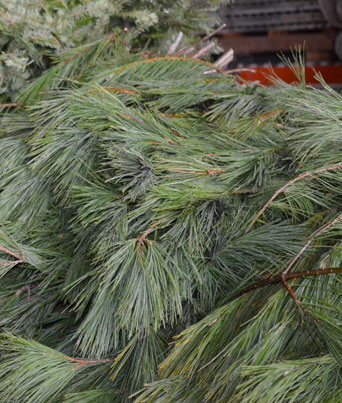 White Pine Image