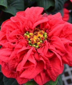 Winter Rose Image