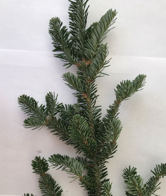 Frasier Fir Image