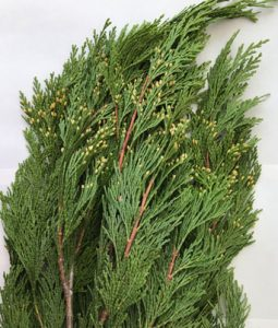 Incense Cedar Image
