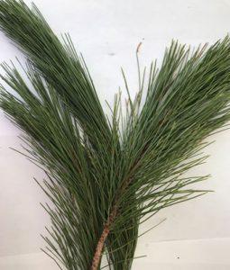 Norway Pine Image