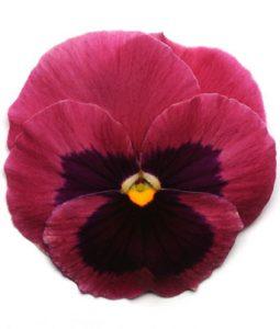 Spring Matrix™ Rose Blotch Image