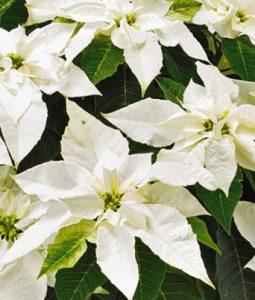 Princettia® Pure White Image