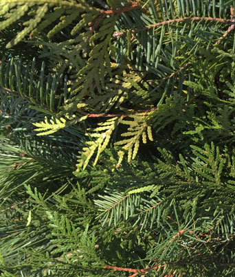Balsam, Cedar, and Pine Garland Image