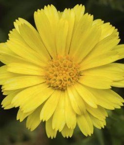 Caleo™ Yellow Image