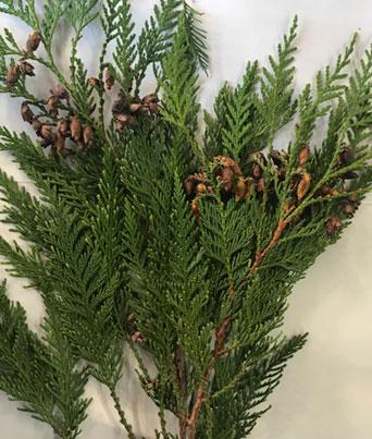 Coned Cedar Image