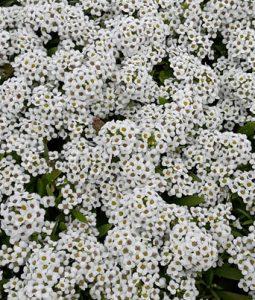 Wonderland White Image