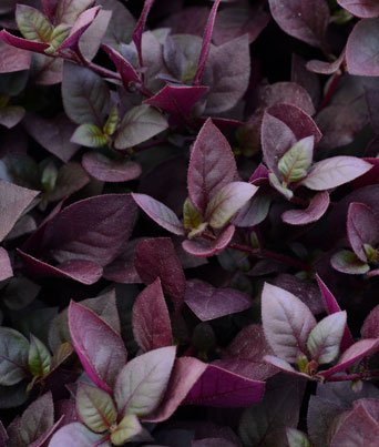 Purple Prince Image