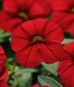 Cabaret® Bright Red Image