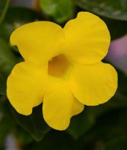 Dipladenia Opal Yellow Image