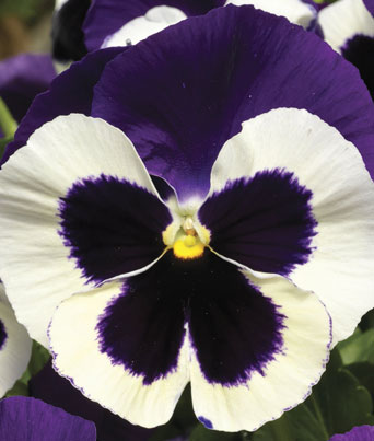Delta™ Premium Violet & White Image