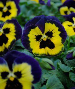 Matrix® Yellow Purple Wing Image