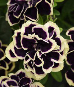 Petunia Midnight Gold Image