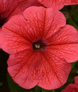 Petunia Sun Spun® Coral Image