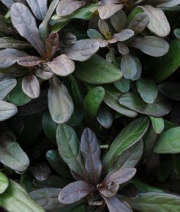 Chocolate Chip Image