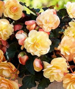 Begonia Fragrant Falls Peach Image