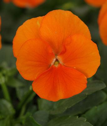 Sorbet® Deep Orange Image