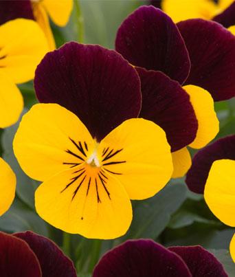 Sorbet® Yellow Burgundy Image