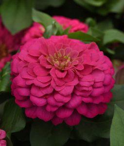 Zesty™ Pink Image