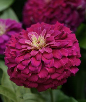 Zesty™ Purple Image