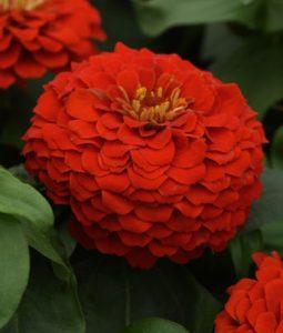 Zesty™ Scarlet Image