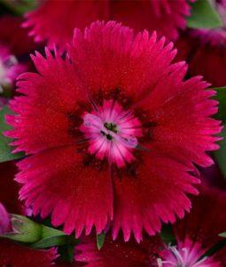 Dianthus Floral Lace™ Purple Image