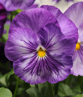 Matrix® Lavender Shades Image