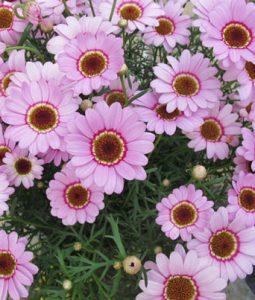 Grandaisy® Pink Halo Image