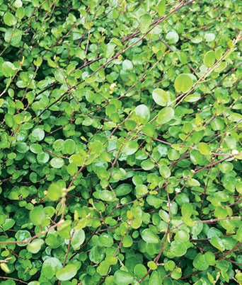 Small Leaf Creeping Wire Vine Image